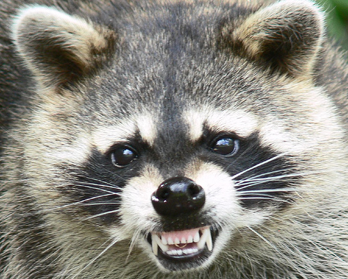 Go To Raccoon Removal